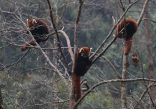 Red pandas in Sikkim